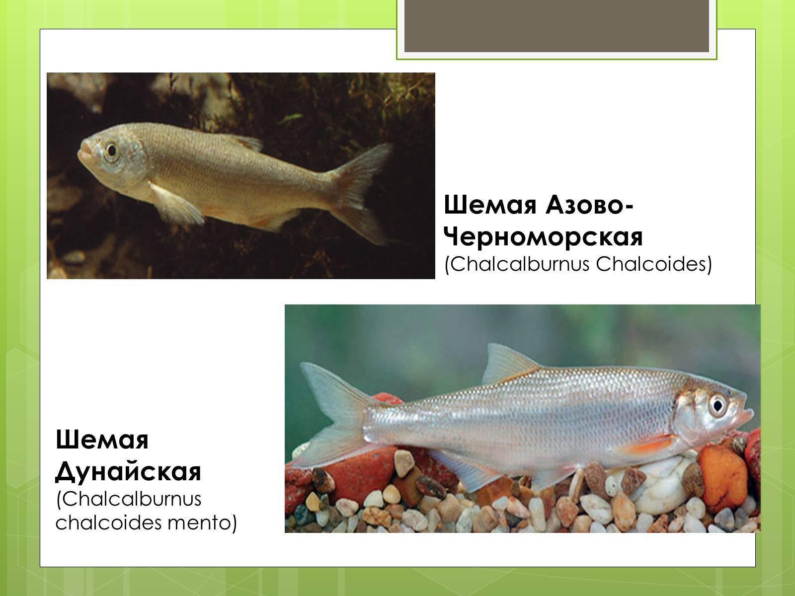 Шамайка — рыба, называемая «царской»