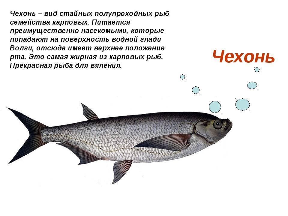 Сайда: что за рыба, где водится, как приготовить, полезные свойства