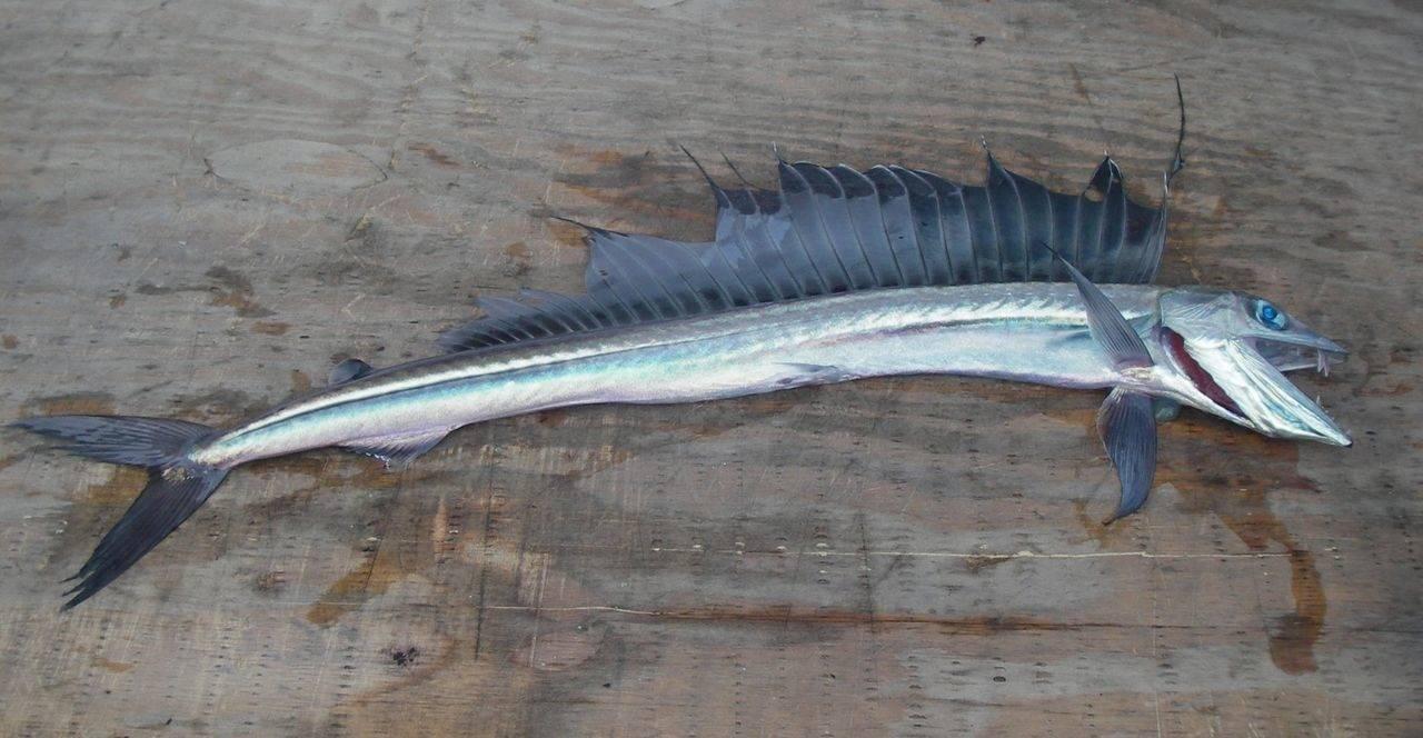 Рыба щиповка
