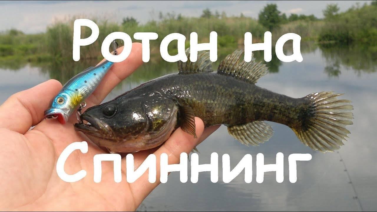 Ловля ротана разными способами и нюансы рыбалки по сезонам