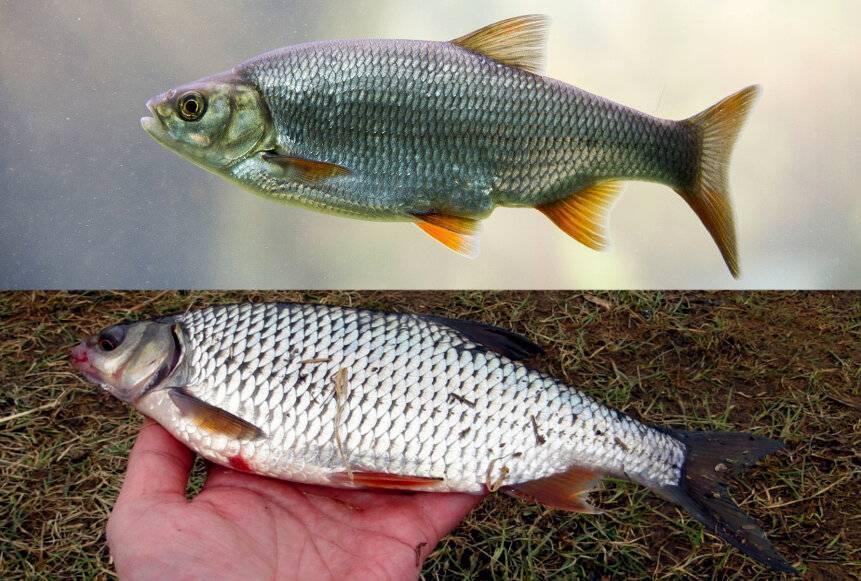 Плотва обыкновенная, нерест и места обитания, рыбалка на плотву
