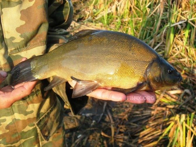 Рыба линь, фото иописание, советы половле