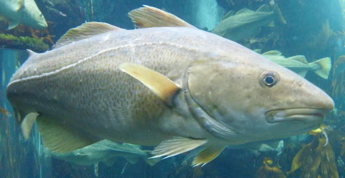 Треска - 96 фото важнейшей промысловой рыбы во всем мире