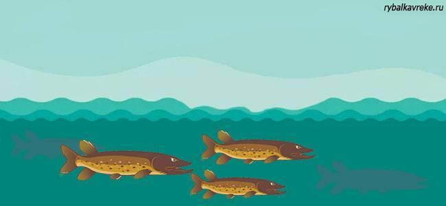 Рыба щука: характеристики, виды, особенности выращивания и ловли