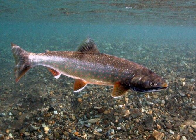 Арктический голец | фото, виды рыб, ареал обитания, образ жизни и способ ловли