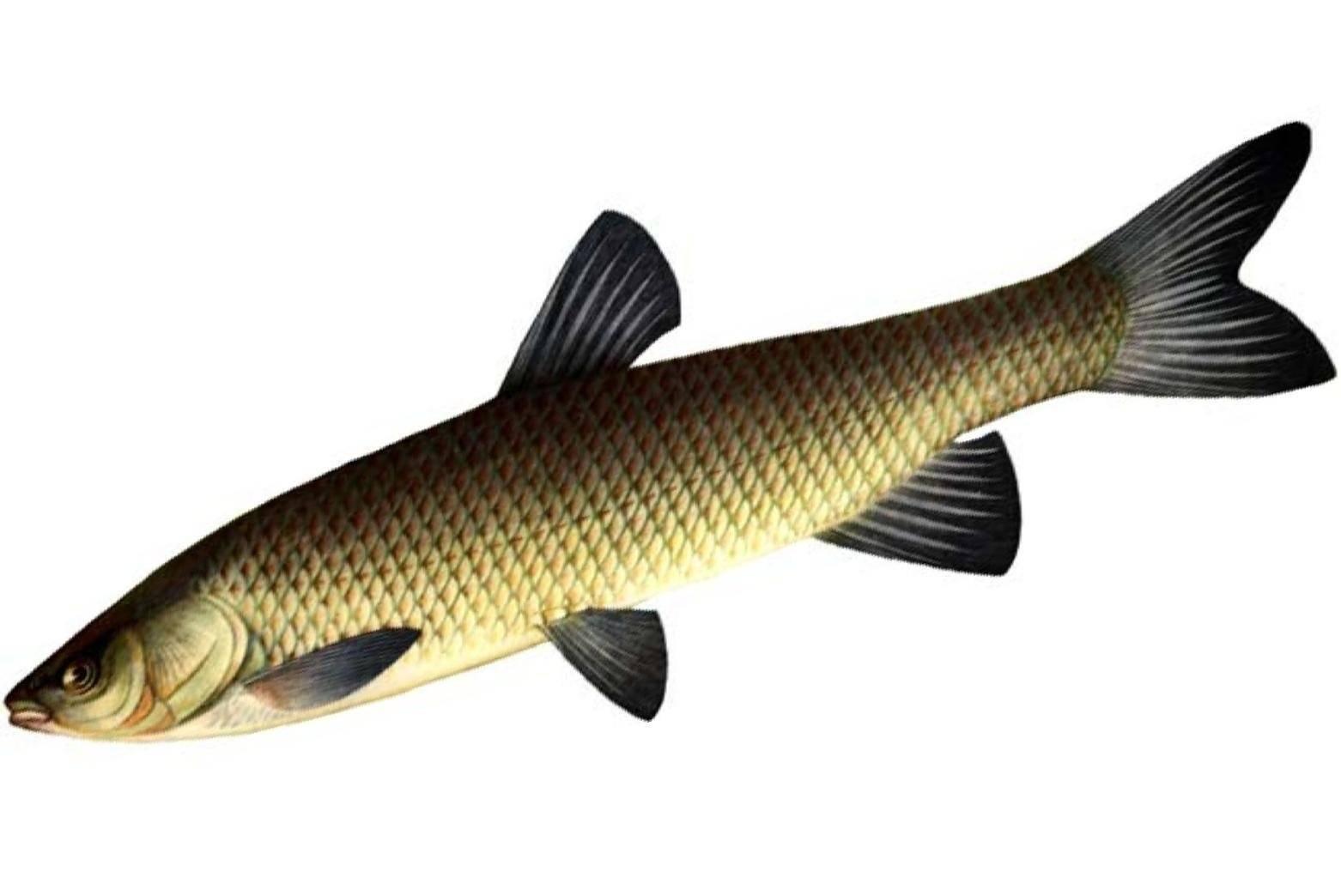 Белый амур: польза и вред рыбы, фото и описание, правила приготовления