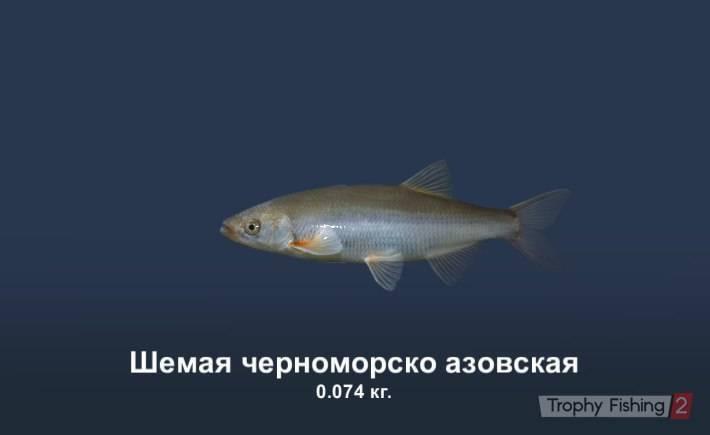 Шемая царская рыбка!)) - domkolbaski.ru