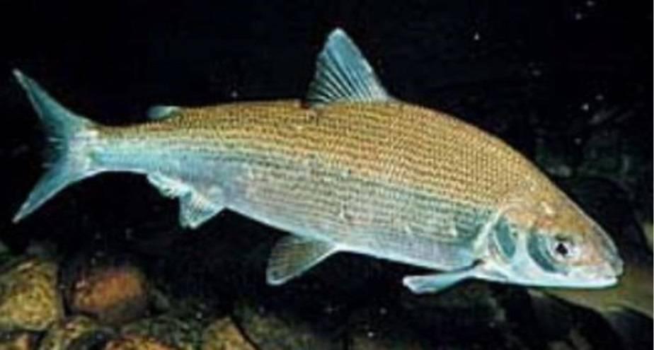 Отряд лососеобразных пород включает в себя крупное семейство всех видов сиговых рыб