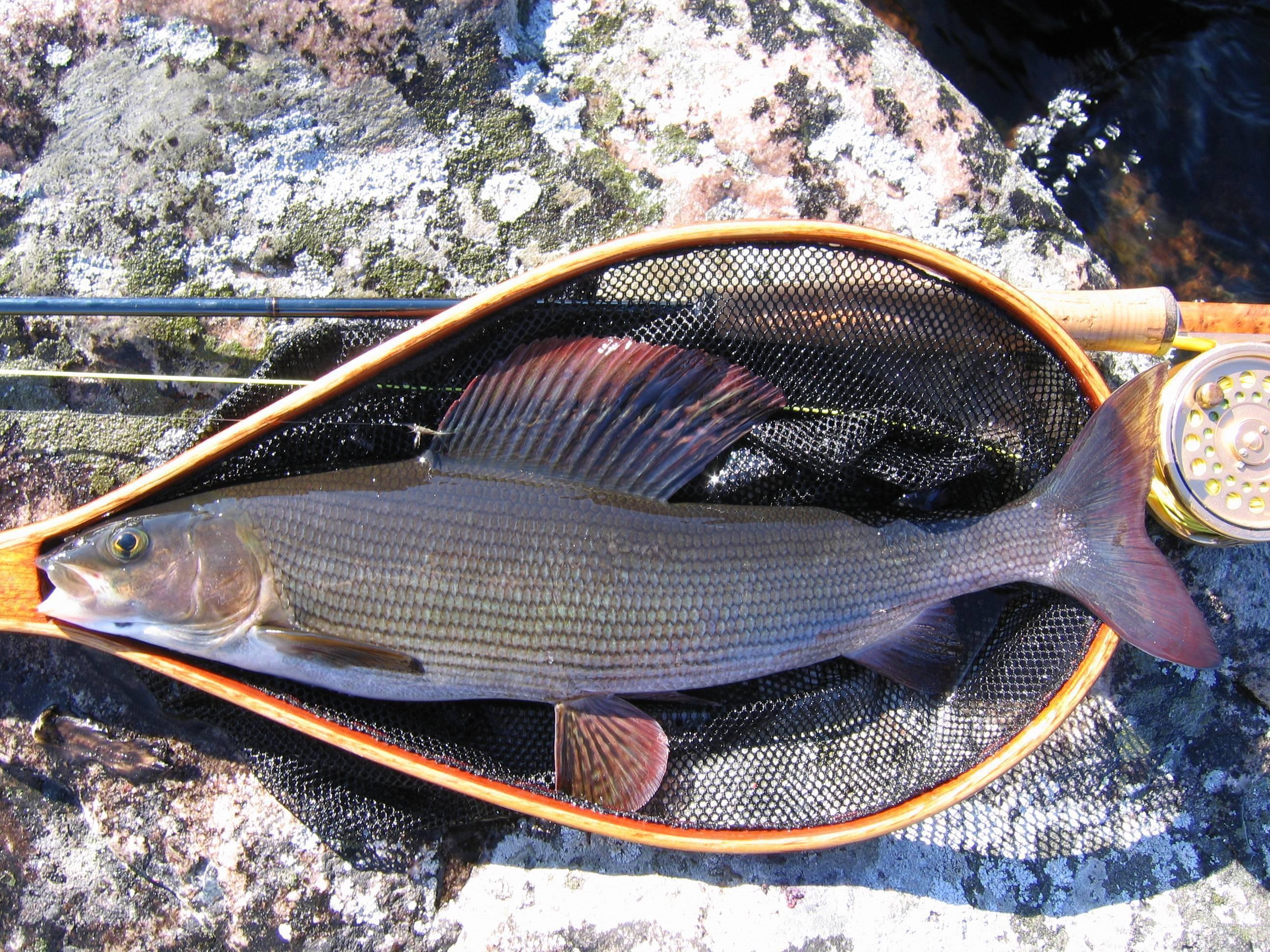 Рыба хариус: описание и место обитания : labuda.blog рыба хариус: описание и место обитания — «лабуда» информационно-развлекательный интернет журнал