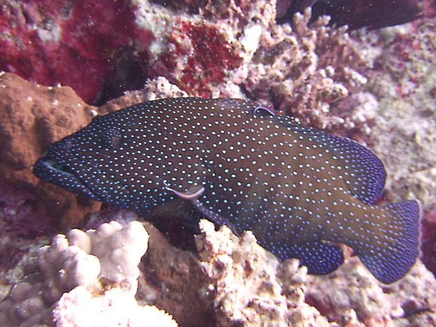 Рыба групер: фото, жизненный цикл, ареал обитания, питание и размножение