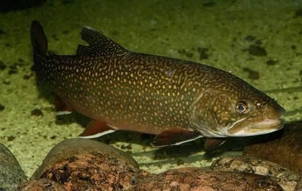 Хищные аквариумные рыбки : хищники, виды, названия, описание, содержание, кормление, чем кормить, хищные рыбы для аквариума, фото, топ