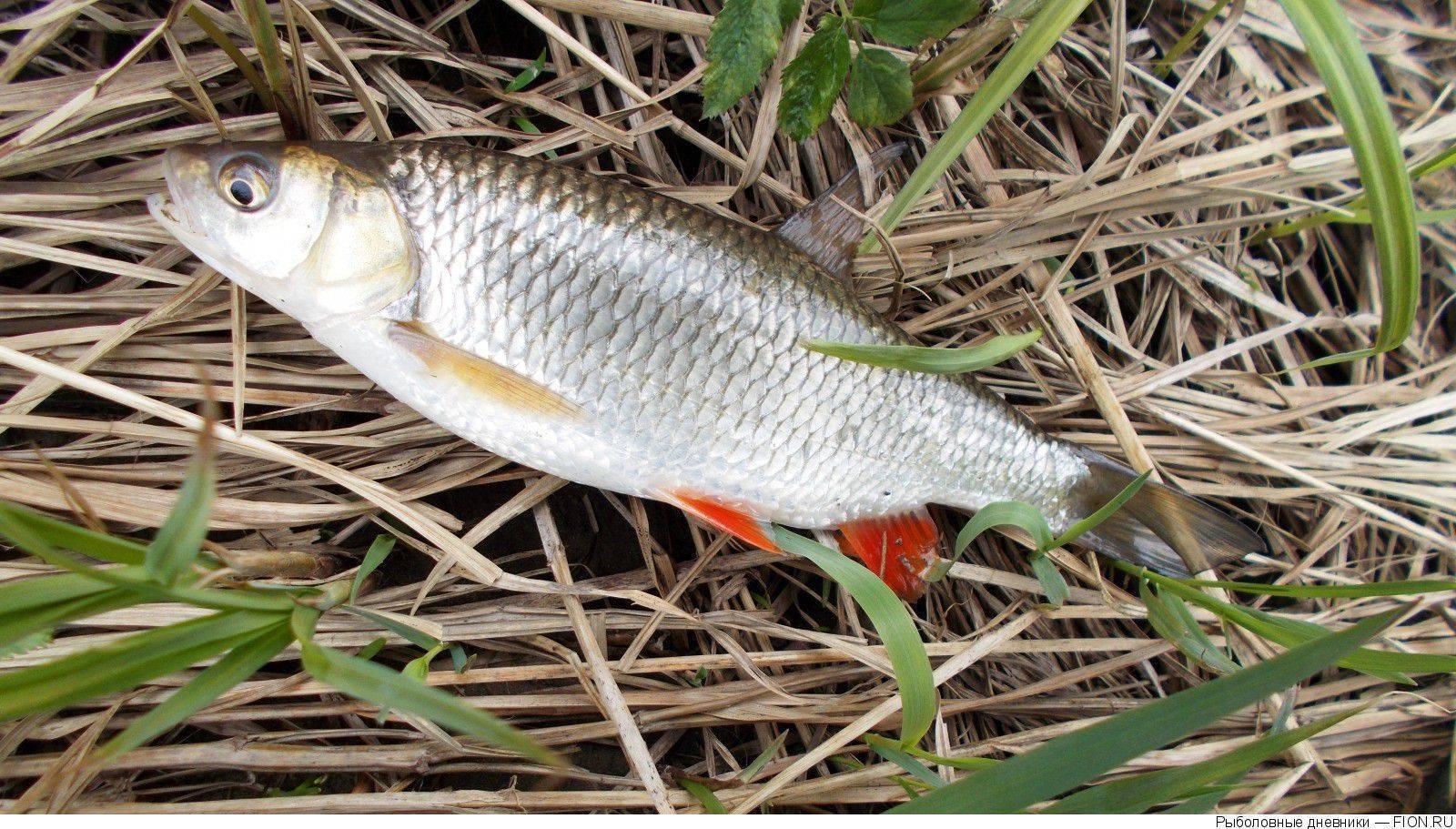 Рыба чебак: фото и описание сибирской плотвы, особенности ловли