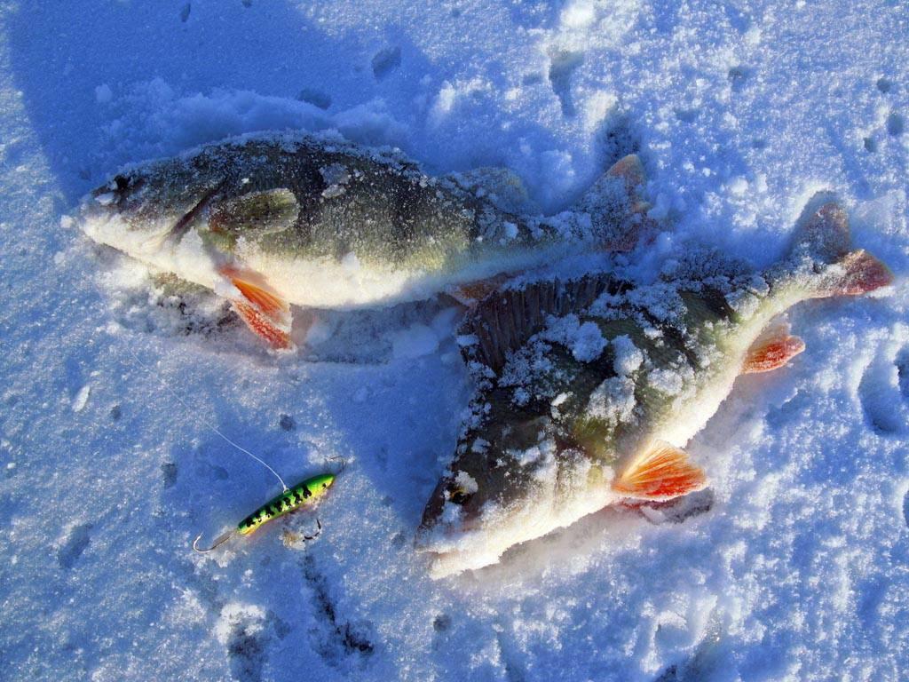 7 лучших наживок для ловли окуня – рыбалке.нет