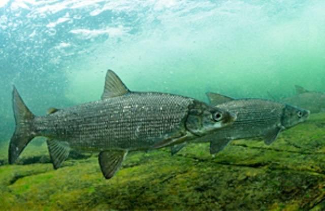 Семейство сиговых рыб: обыкновенный сиг и его родственники