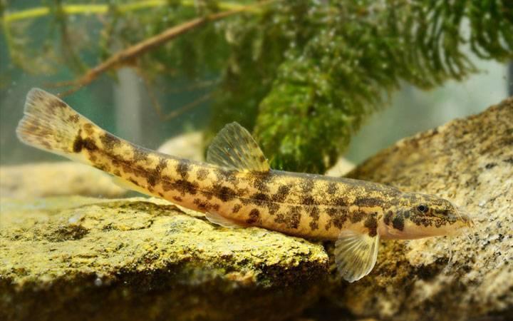Голец – полезные свойства рыбы, видовое разнообразие, как приготовить на ydoo.info