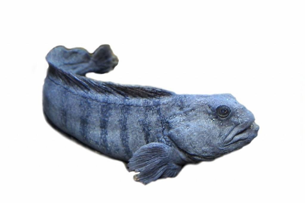 Рыба зубатка: польза и вред, фото, калорийность, где водится и что из нее можно приготовить