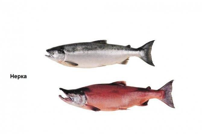 Горбуша: калорийность, польза и вред для организма