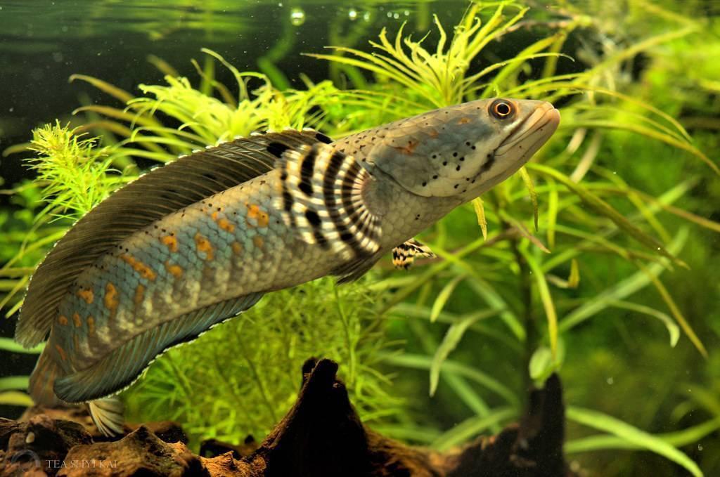 Змееголов в аквариуме: содержание, виды, совместимость