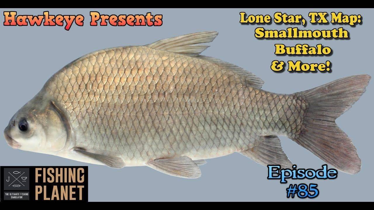Буффало — фото, описание рыбы