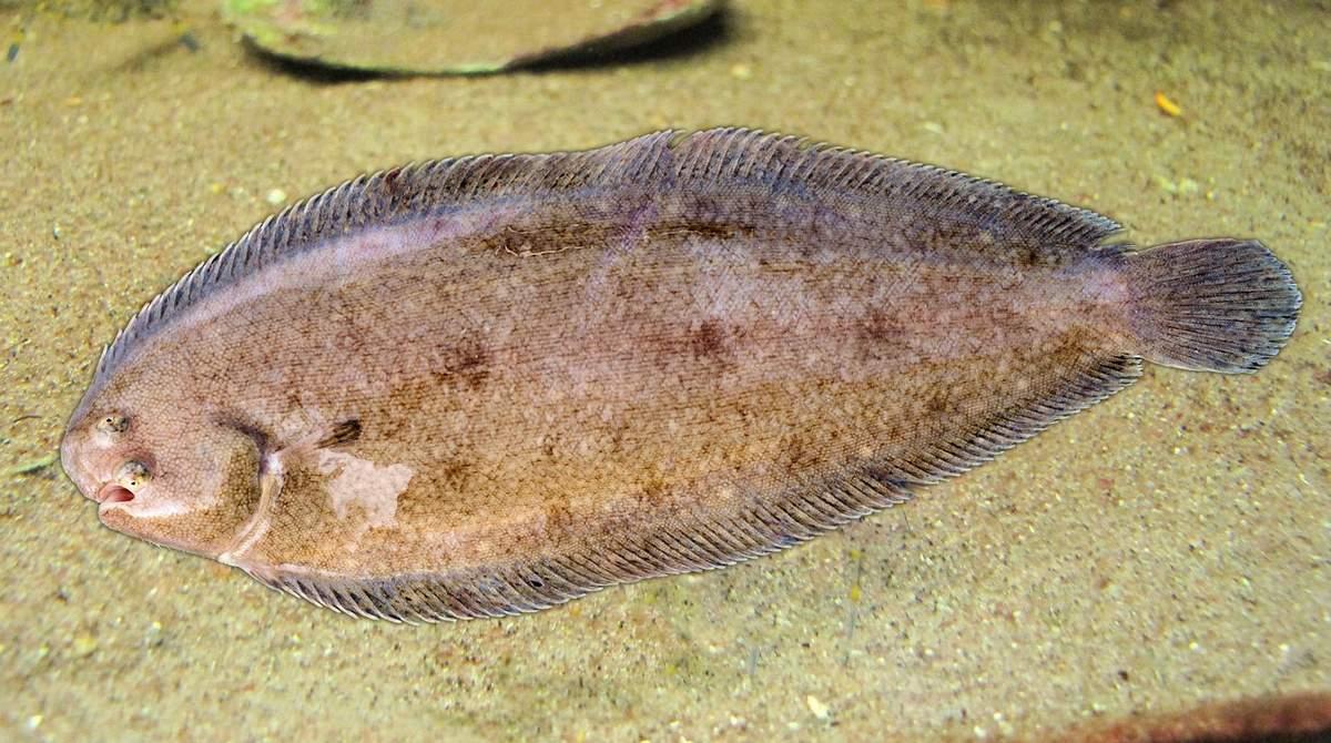 Хотите узнать, что за рыба морской язык?
