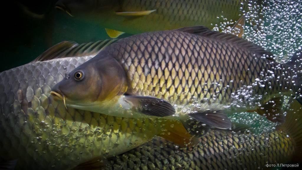 Какие виды карпа бывают? - разновидности карповых рыб, фото