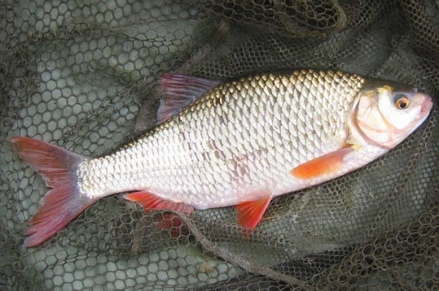 Плотва: описание,нерест,образ жизни,питание,фото. | аквариумные рыбки