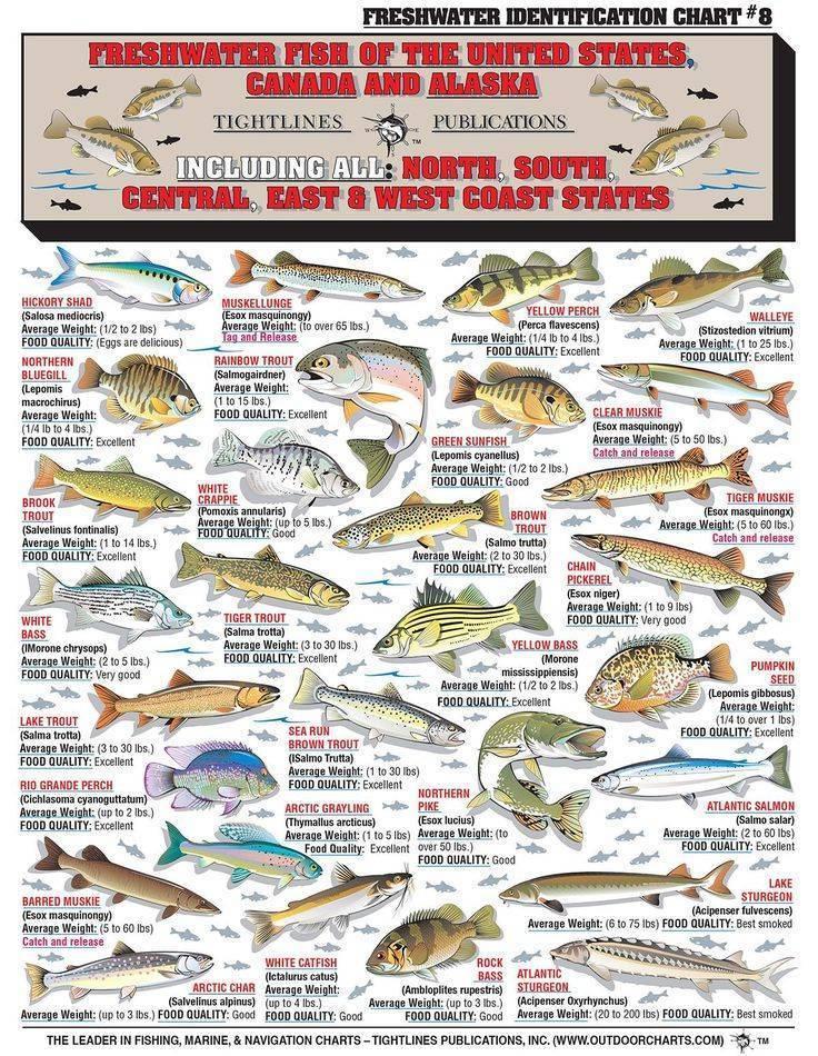 Рыба чир фото и описание