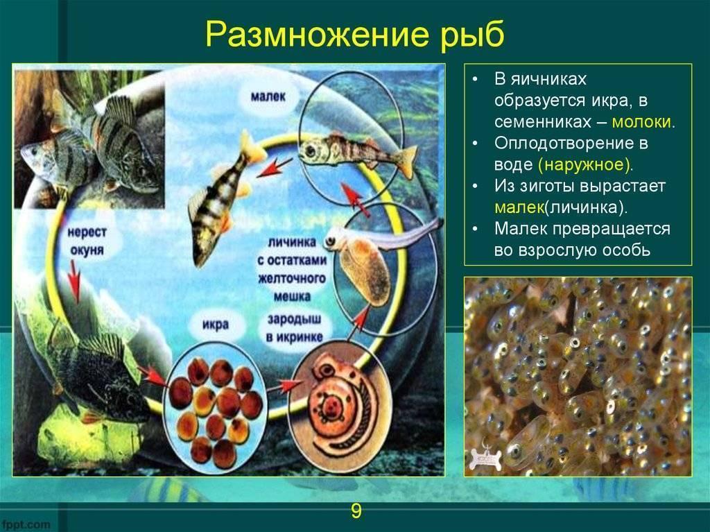 Осенью окунь с икрой - про рыбалку