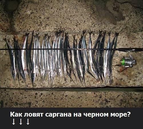 Секреты приготовления рыбы сарган
