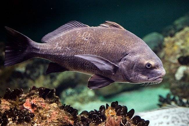 Рыба горбыль