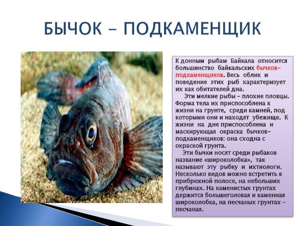 Подкаменщик обыкновенный: описание, среда обитания, внешний вид