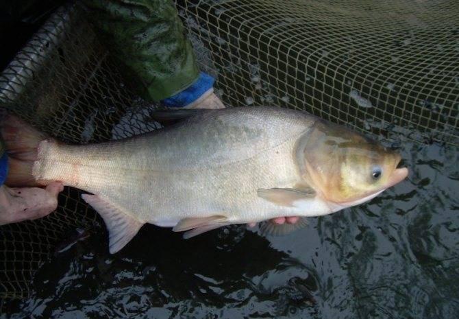 Рыба «Толстолоб» фото и описание