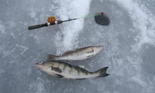 Ловля берша зимой: на что ловить, на что клюёт