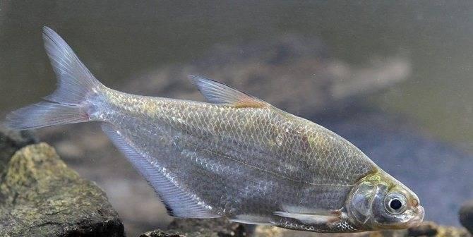 Белоглазка - спортивное рыболовство