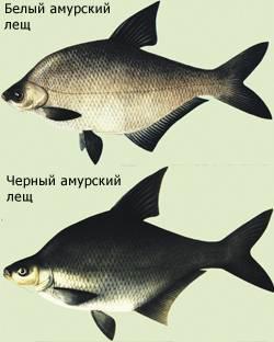 Секреты ловли белого амура (особенности рыбалки)