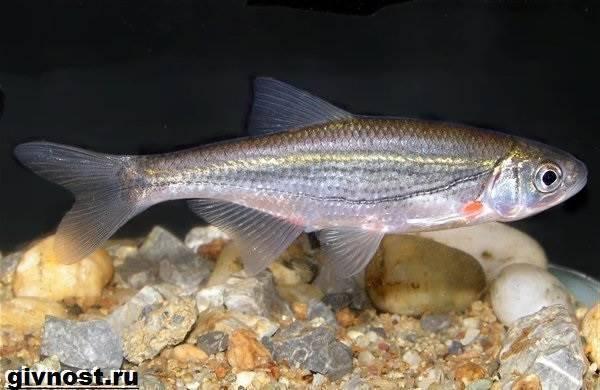 Быстрянка — описание рыбы, характеристики, повадки, способы как и чем ловить рыбу (100 фото + видео)