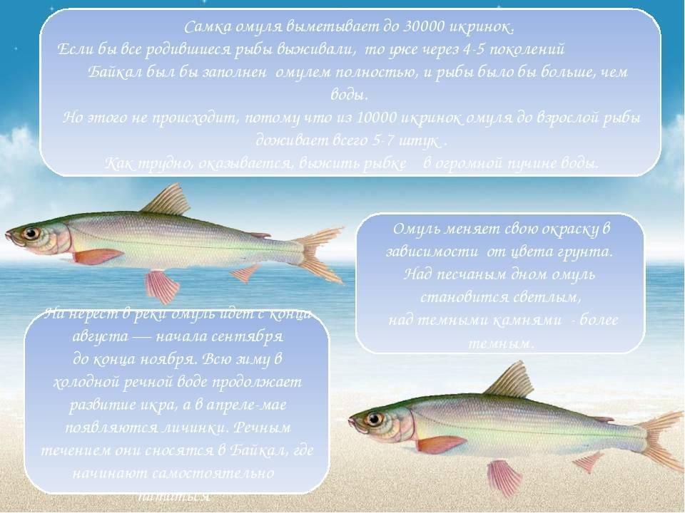 Омуль: где водится рыба, чем питается и как нерестится