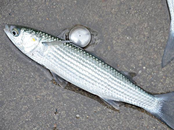 Кефаль что за рыба: фото, описание, рецепты