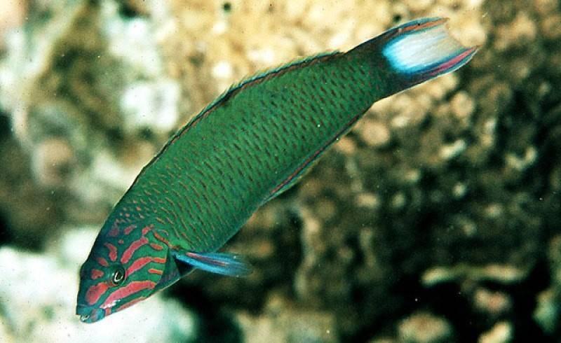 Усач крымский, рыба семейства карповых, barbus tauricus