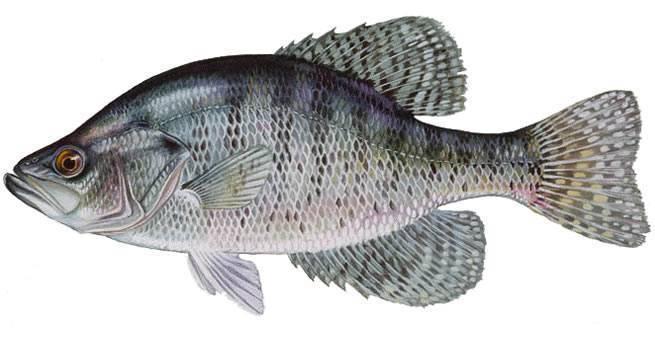 Рыба «Крэппи белый» фото и описание