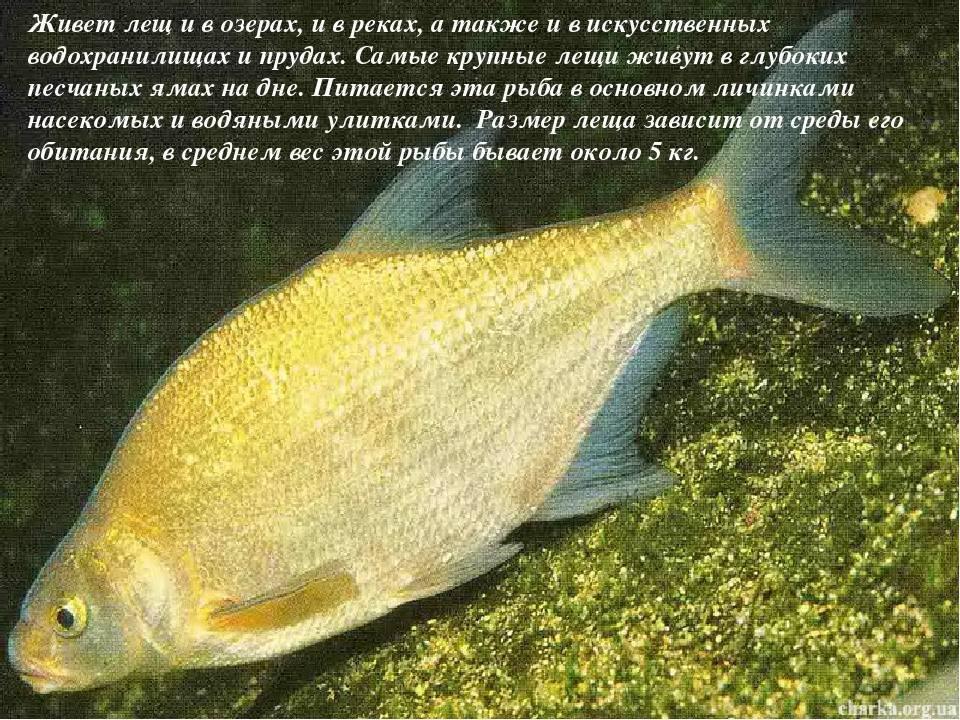 Рыба синец, обитание - блог рыбака