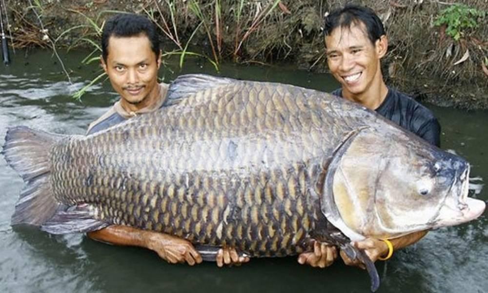 Рыба семейства карповых: список видов с названиями и фото