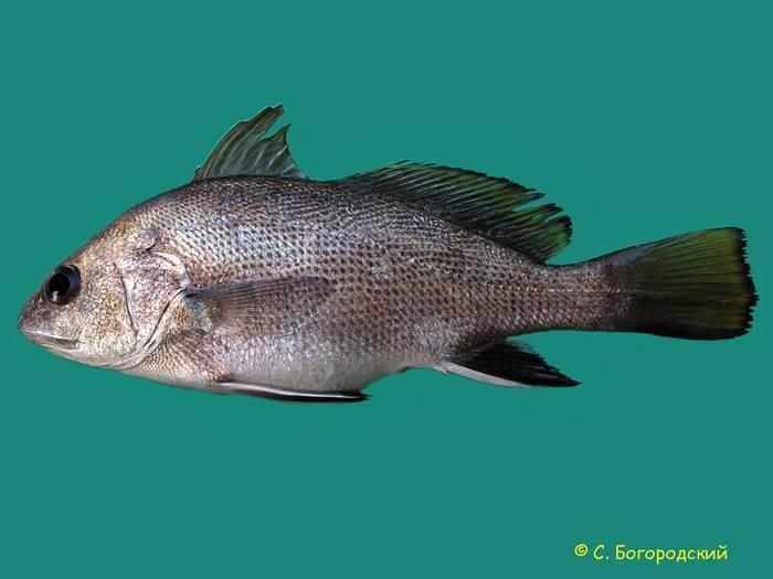 Обыкновенный серебристый горбыль — википедия. что такое обыкновенный серебристый горбыль