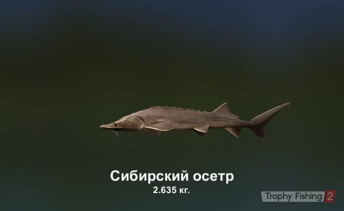 Сибирский осётр
