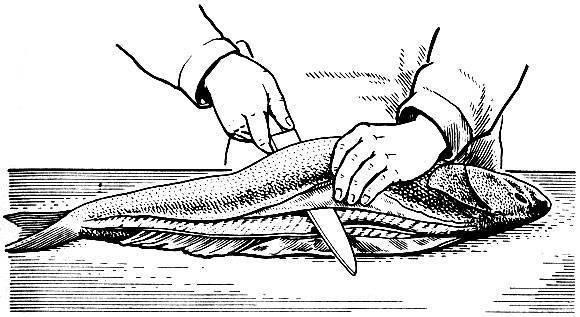 Визига у стерляди: ядовита или нет, как ее удалить у осетра, видео