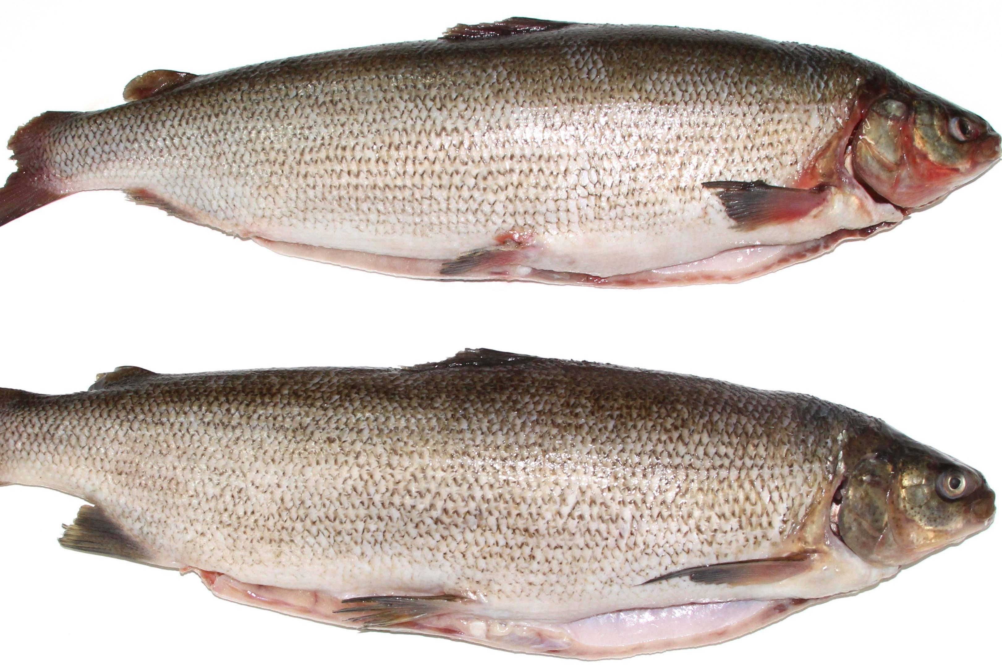 Рыба нельма: описание, фото, рацион, места обитания, способы ловли