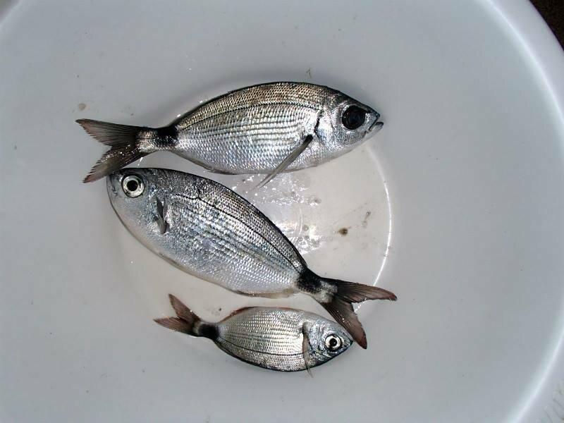 Сорные рыбы: виды и описание, среда обитания, фото