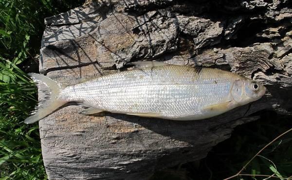 Рыба сырок где водится