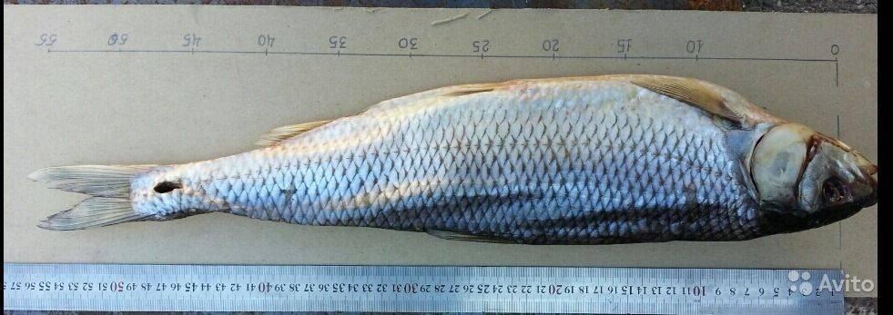 Кутум рыба польза и вред