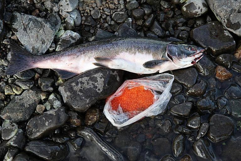Кто такая рыба лосось? виды лососей